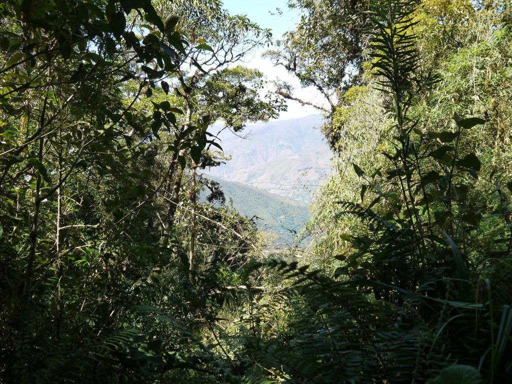 podocarpus-1