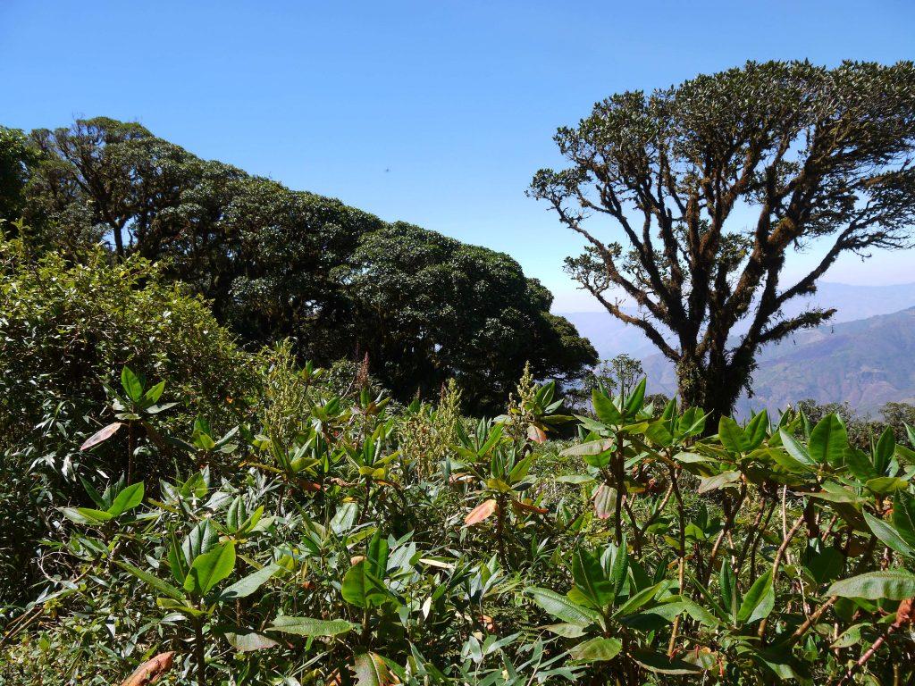 podocarpus-3